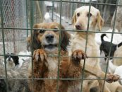Halucinant! Cainii vagabonzi din Romania adoptati de straini ajung in bordelurile occidententale pentru zoofilie. O parte sunt folosititi pentu experimente