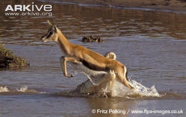 Nile-crocodile-catching-gazelle-prey