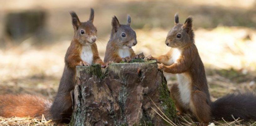 Știți bancul cu veverițele? Întrebați-l pe primarul din municipiul Bistrița
