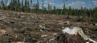 Penibil! Parlamentarii încearcă să dea drumul la tăieri masive în pădurile României