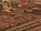 Procurorii au descins la mafia lemnului. Schwighofer Holzindustrie, în vizorul DIICOT