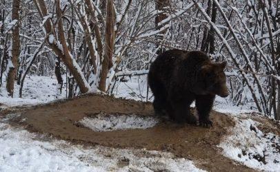 Cine este animal, de data asta? Sclavia unui urs, ținut captiv timp de 20 de ani
