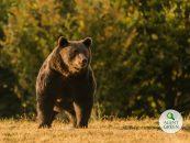Măcelul animalelor sălbatice din țara noastră. Premierul Cîțu: Nu era cel mai mare urs din Carpați